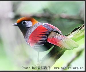 赤尾噪鹛-宽阔水观鸟手册
