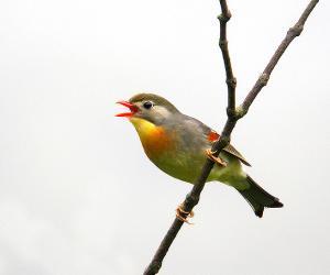 红嘴相思鸟-宽阔水观鸟手册