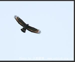 凤头蜂鹰-宽阔水观鸟手册
