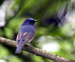 蓝喉仙鹟-宽阔水观鸟手册