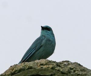 铜蓝鹟-宽阔水观鸟手册