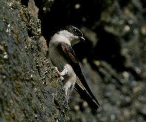 烟腹毛脚燕-宽阔水观鸟手册