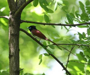 寿带[鸟]-宽阔水观鸟手册