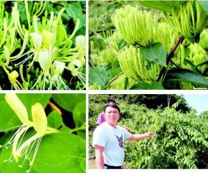 贵州金银花:控规模提质量